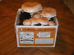 Outdoor Mushroom Lights by Best Mushroom Grow Kits Urban Turnip