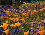 Oro Valley Spring Wildflowers - Oro Valley Real Estate
