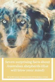 australian shepherd diseases seven surprising facts about australian shepherds dog discoveries