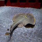 Image result for Platyrhina sinensis