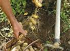 Fiche de culture : la pomme de terre
