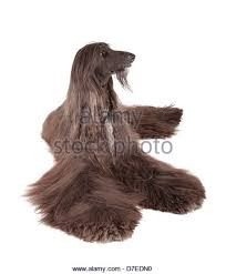 afghan hound long haired dogs afghan hound portrait stock photos u0026 afghan hound portrait stock