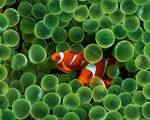 1280x1024 Clown Fish desktop PC and Mac wallpaper