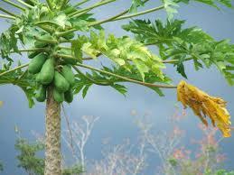 Papaya meyvesi nedir ve yararları
