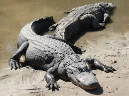 Image result for american alligators