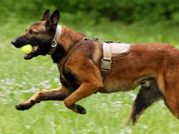 belgian malinois ear cropping top 10 police dogs and best guard dogs in the world 2017