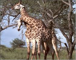 Animales salvajes en su habitad. Images?q=tbn:ANd9GcSWIBohVDXc4EjBb0CGF2_fqSAXPevWrKJbqA4lGRKPqn08mOM&t=1&usg=__P60lfgipylGfX6mn6T3I1Na3bj4=