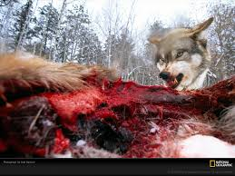 شکار گرگ