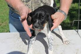 bluetick coonhound puppies for sale in ohio view ad bluetick coonhound puppy for sale texas college station