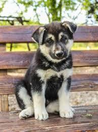 husky x australian shepherd for sale puppies for sale lancaster puppies