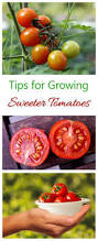 sweet tomatoes tips tricks u0026 myths the gardening cook