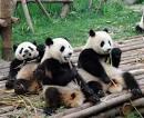 パンダ:パンダ=2008年、中国・