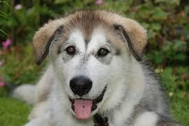 husky x australian shepherd for sale 10 reasons why you should adopt the gorgeous husky lab mix