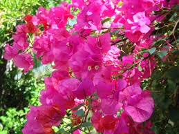 image of the bougainvillea plant, borrowed from friendzsociety.com