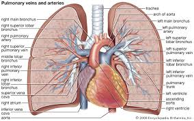 Anatomy And Physiology Of Lungs Pulmonary Circulation Physiology Britannica Com
