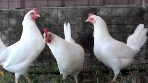 backyard chickens for sale white leghorn youtube