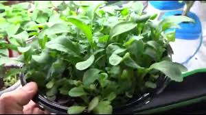 growing a salad bowl cheap and easy method to grow lettuce