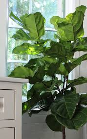 the fig and i tips for caring for fiddle leaf fig trees gardenista
