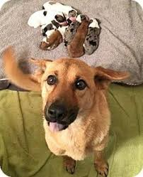 3 australian shepherd mix puppies for adoption espanola nm australian shepherd mix meet bug a puppy for
