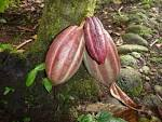 Where does chocolate come from? (Tirimbina Biological Reserve ...