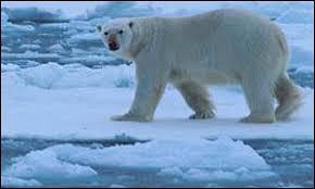 دب القطب الشمالي معلومات وصور فيديو Images?q=tbn:ANd9GcSattTA0BtOO1pDhAjWk27i6Sf_xuFAMst5iLky7uwwv5lSFL-2Yg