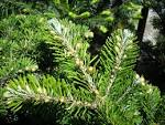 Image result for Abies veitchii