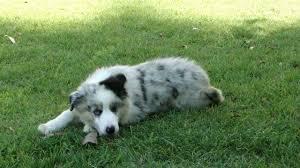 6 month old mini australian shepherd australian shepherd puppy to dog youtube