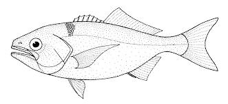 Hyperoglyphe antarctica