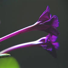 aliexpress com buy sale rare purple jasmine seeds fragrant