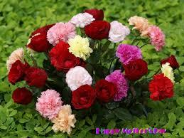 வால்பேப்பர்கள் ( flowers wallpapers ) - Page 3 Images?q=tbn:ANd9GcSdwhjSjy8vYWsnDbsrBe44YraaRZeWDv6Co8gwoKauYLnS4um2