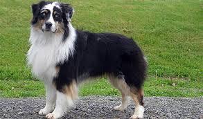 husky x australian shepherd for sale australian shepherd breed information