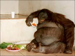 Orangotango obeso que comia marshmallow faz dieta na Inglaterra