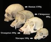 Image result for define:biological anthropology