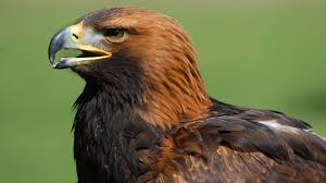 huge swooping golden eagle terrorises residents in watford