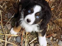 australian shepherd diseases view ad australian shepherd puppy for sale oregon prineville usa
