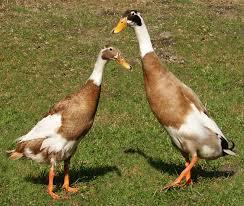 quack Runner-ducks