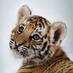 Baby tigers have blue eyes! And other fun tiger facts | Good Nature
