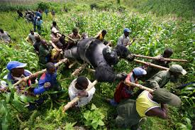 gorilas en el Congo