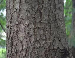 White Oak Bark Amc Nh Gallery U0026 Guide To Nh Trees