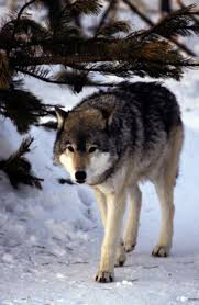 The Wolves of The Backwoods of Yellowstone Park Images?q=tbn:ANd9GcShxcejkZoCmxeBKvOXwNEFSiw_PK-FxuZLQp0AsgVVe9LUA49C