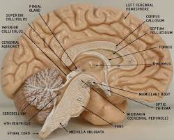 Sheep Brain Anatomy Game Labeled Brain Model Bing Images Biology Pinterest Brain