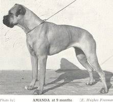 boxer dog uk uk post war boxer dogs