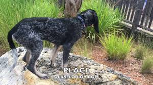 training a bluetick coonhound to hunt 5 month blue tick coonhound