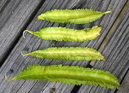 Winged bean