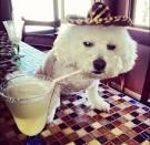 Image result for small white maltese dog cinco de mayo photos