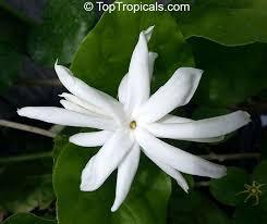 41 best plants fragrant images on pinterest indoor plants