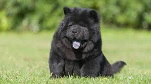 belgian sheepdog chow mix which dogs have black tongues reference com