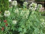 The White <b>Cleome</b> | Mel&#39;s Green Garden