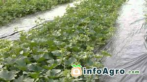 melon growing how to plant grow and harvest 2 2 youtube