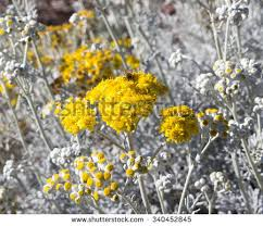 Tree With Bright Yellow Flowers - bee on bright yellow flowers hardy stock photo 340452827